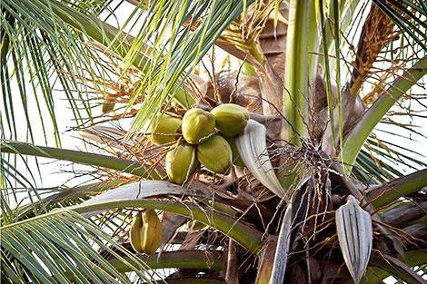 Kokosöl stammt von der Kokospalme