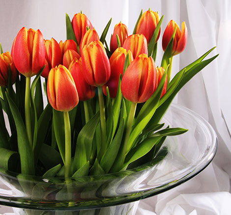 Die Tulpe ist ein Frühlingsbote