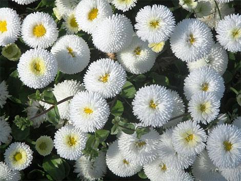 Die Frühlingsblumen 'Bellies' wachsen bodentief und schaffen einen schönen Kontrast zu den langen Scheindolden des Zierlauchs