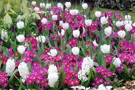 Primeln bilden einen aparten Kontrast zu den langstieligen Tulpen