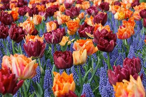 Tulpen passen gut zu Traubenhyazinthen