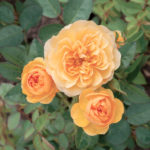 Dobbies 'Amber Delice' Rose