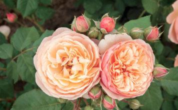 Dobbies 'Aromatique' Rose