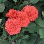 Dobbies 'Treasured Memories' Rose