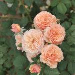 Dobbies 'Sweet Apricot' Rose