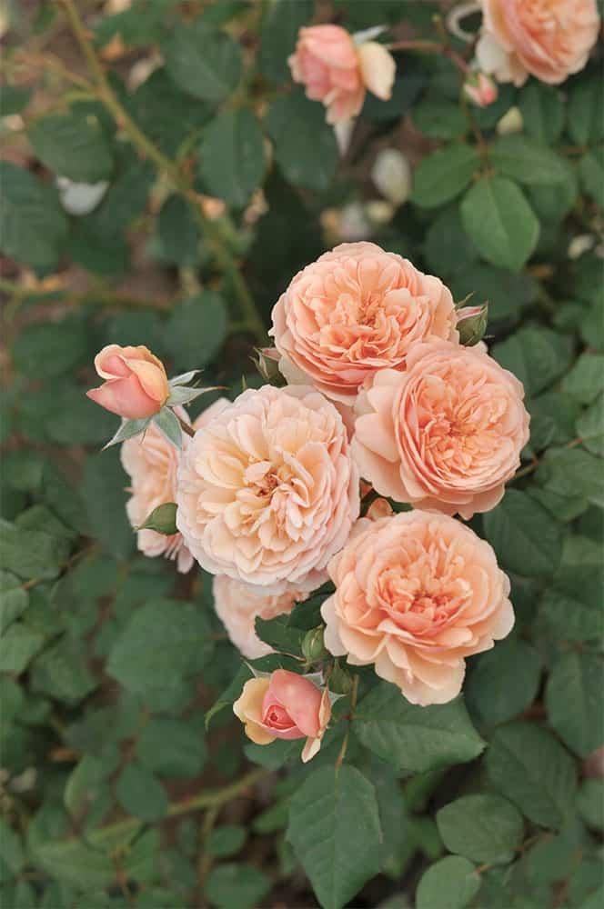 Dobbies 'Virtue' Rose