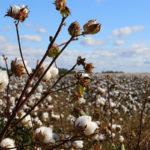 Baumwolle wächst als Pflanze auf dem Feld