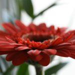 Beliebte Pflanze in Blumensträußen: die Gerbera