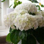 Hortensien haben üppige Blüten