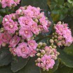 Die Kalanchoe hat viele kleine Blüten